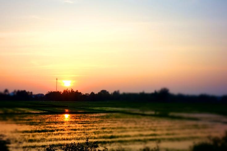 Aurinko värjää riisipellot sävyillään